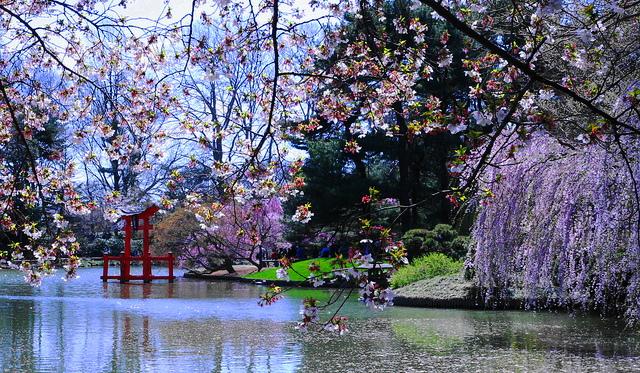 Sakura-Matsuri-Cherry-Blossom-Festival-At-The-Brooklyn-Botanic-Garden