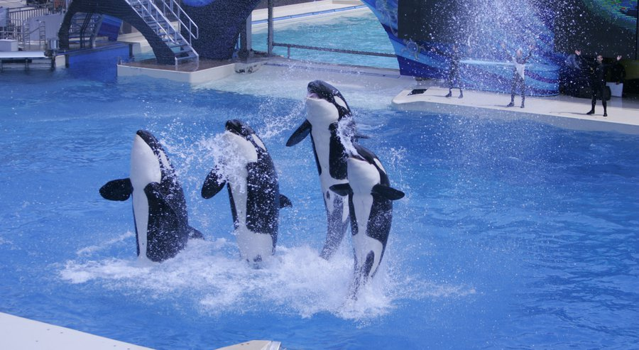 """the bad conditions of killer whales in seaworld You wouldn't want to live in a bathtub for your entire life, right that's basically what life is like at seaworld for the orcas and other marine animals who are forced to live there and perform """"tricks"""" for noisy crowds instead of living freely with their families in the ocean, these intelligent, social animals spend their days."""