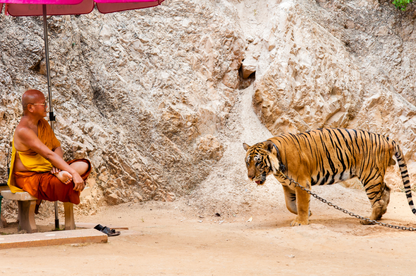 Kanchanaburi, Thailand - May 23, 2014:Unknown buddhist monk with a bengal tiger at the Tiger Temple on May 23, 2014 in Kanchanaburi, Thailand.The Temple was founded in 1994 as a forest temple and sanctuary for wild animals.