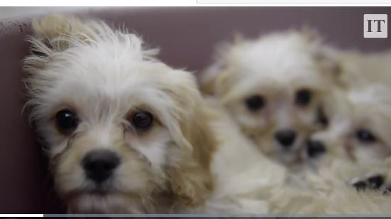 Mass Produced Irish Puppies With Serious Health Problems Are Being