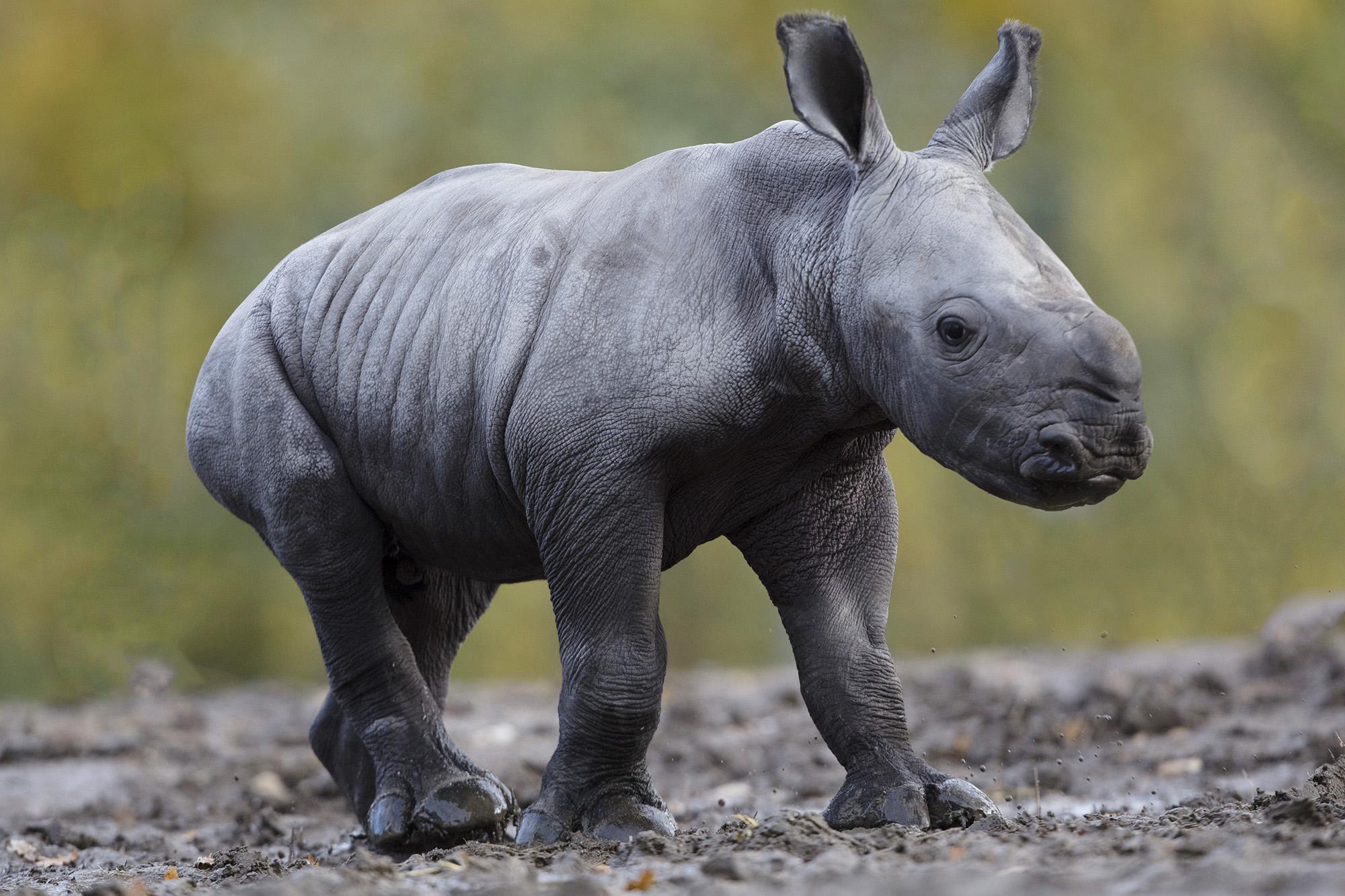 A baby rhino has been born in Dublin Zoo   HerFamily.ie Rhinoceros Baby