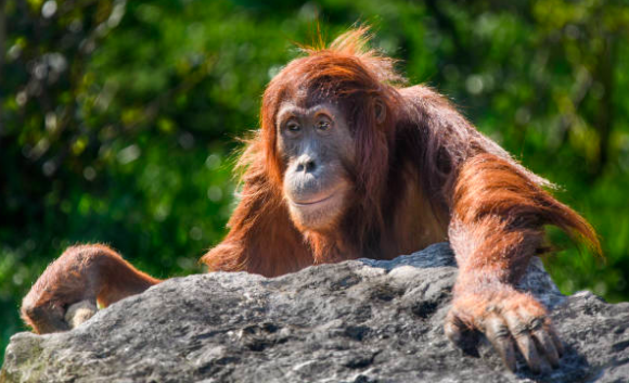 The world's orangutan population has been cut in half in 16 years