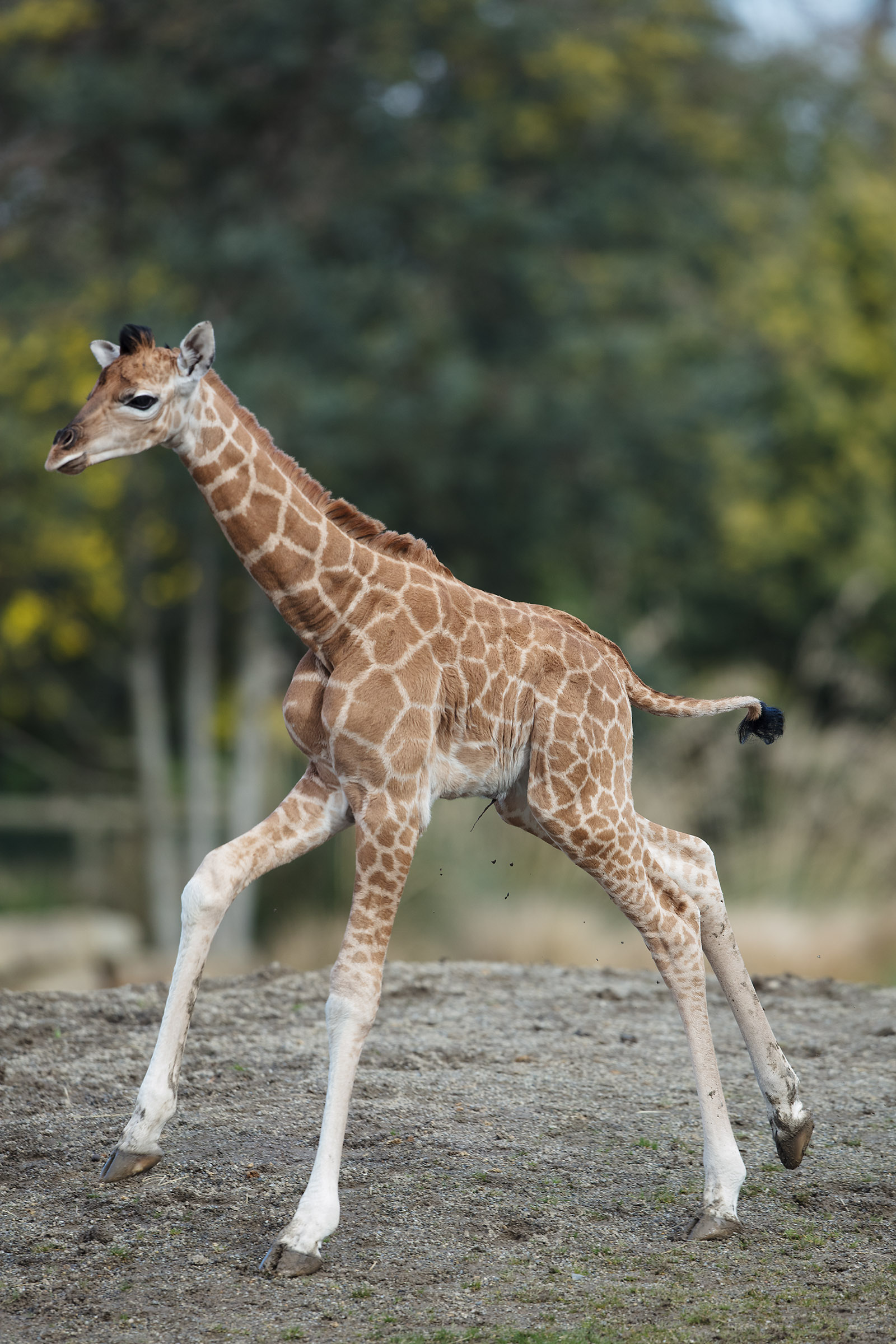 A Baby Giraffe Has Been Born At Dublin Zoo And She Is Adorable Her Ie