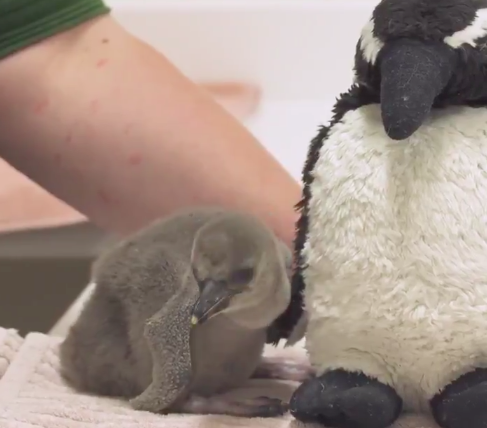 Premature penguin chick saved by zookeepers after egg crushed by parents
