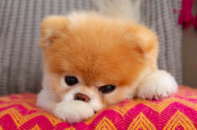 Boo, the 'world's cutest dog', has tragically died from a