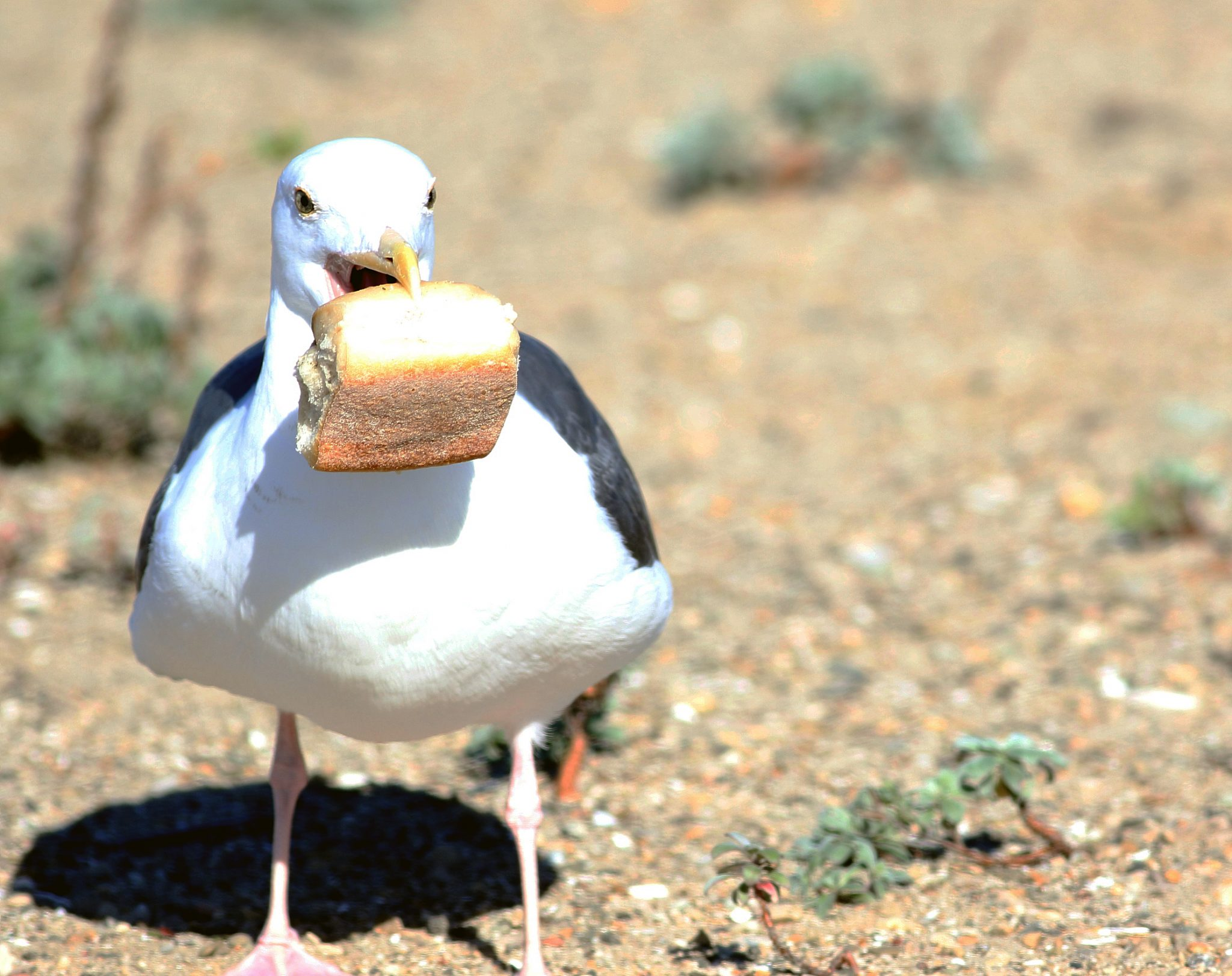 Seagulls less likely to steal food if you stare at them, study shows
