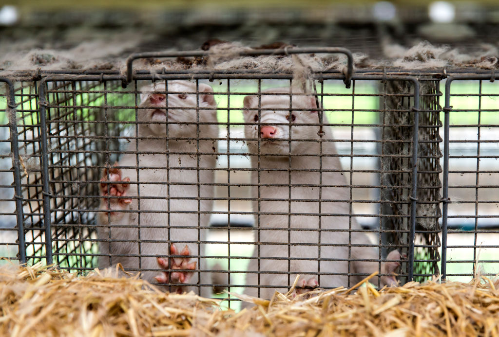 Uproar As Government Orders All Minks In Ireland To Be Culled