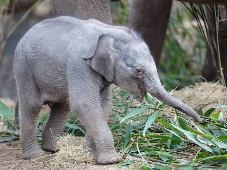 A baby elelphant.